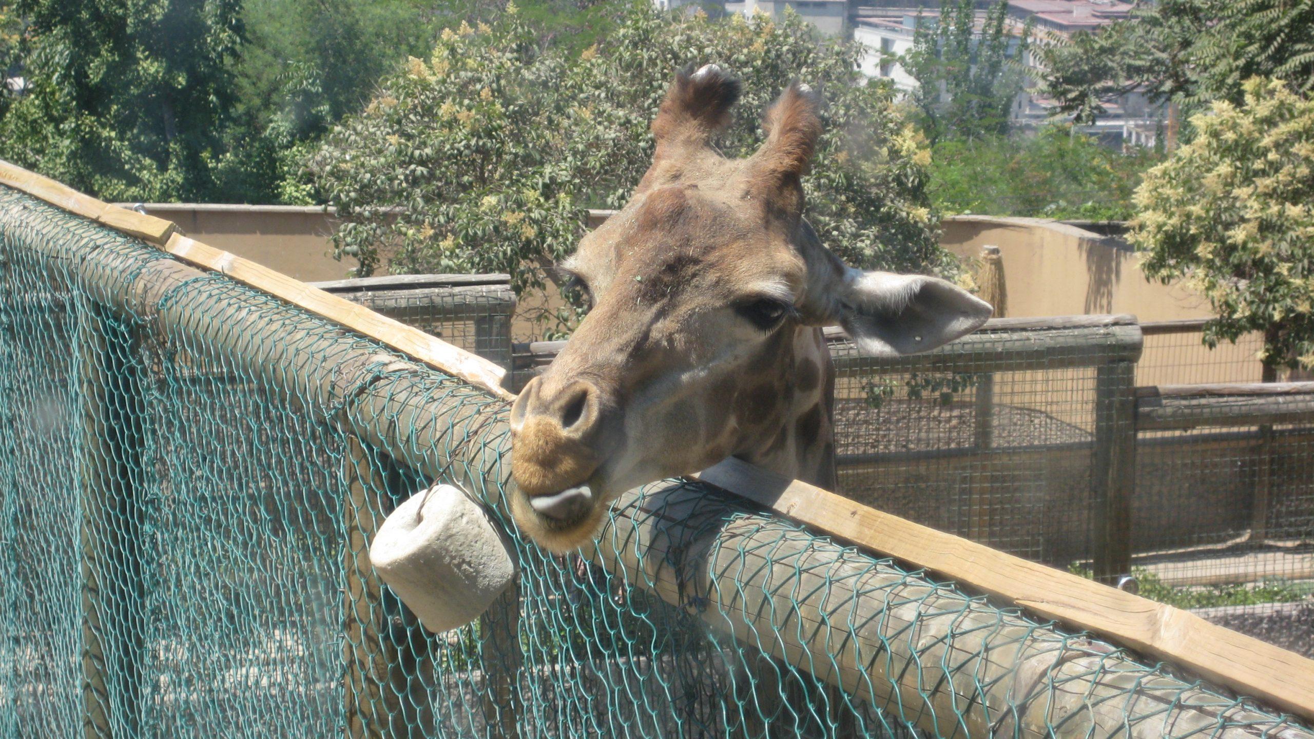 1 Giraffe at Zoo