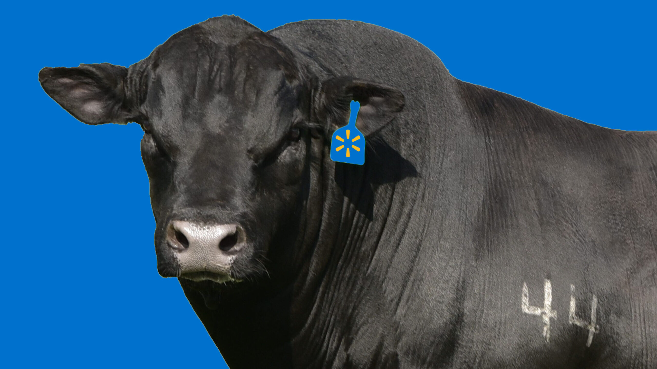 MEET AN ANIMAL: Texas bull 'Top Game' is fathering the next generation of Walmart's beef