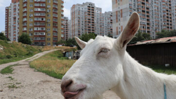 """A goat stands in """"the pit"""" in Kyiv, Ukraine. (Sergii Kharchenko/Zenger)"""