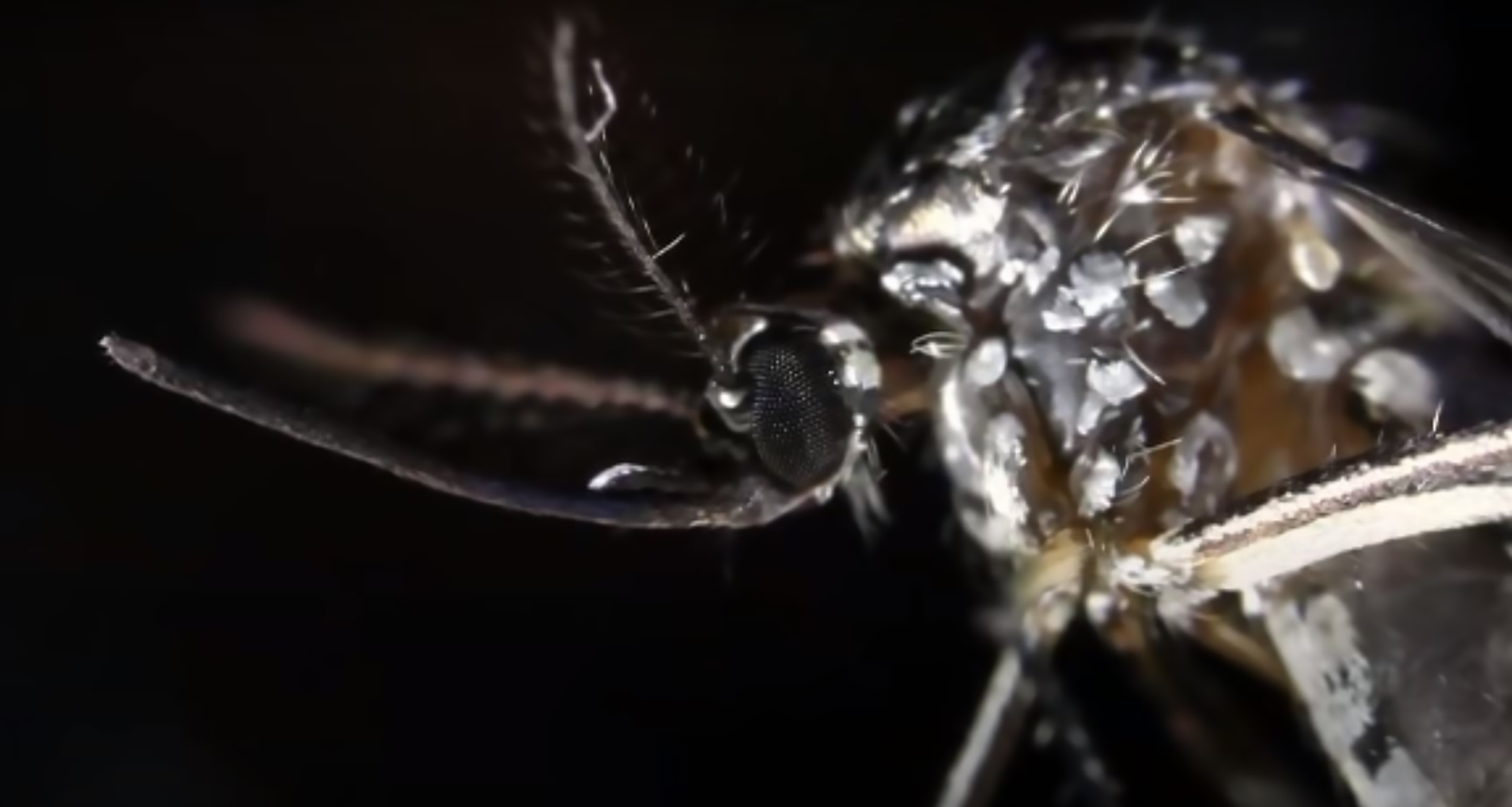 'Avoid being bitten': Virus-carrying Asian tiger mosquitoes likely reach UK