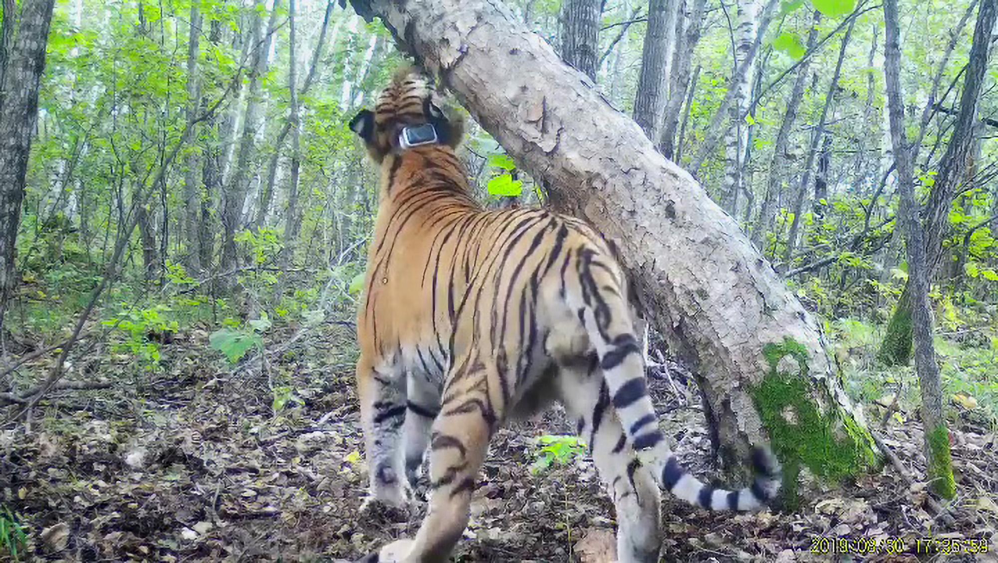 Putin's virile tiger Boris helps boost president's political status