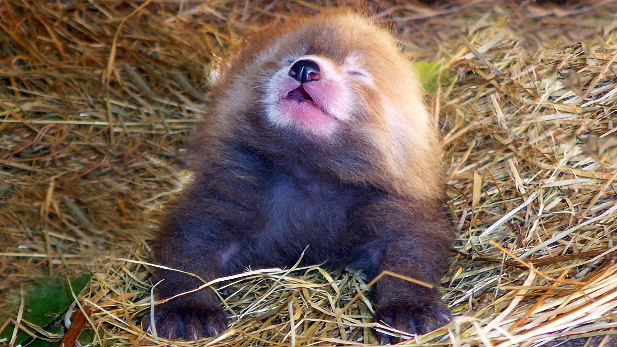 Rare red panda born at Dutch zoo