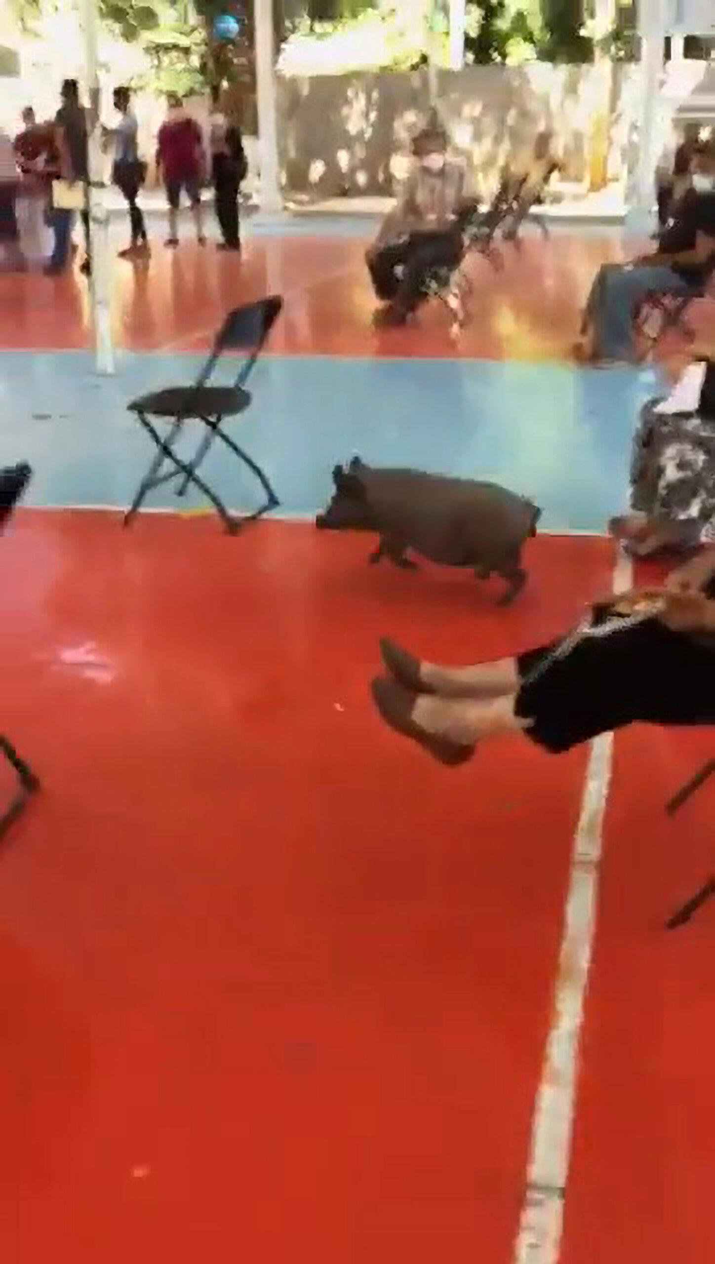 A pig runs past police officers. (CEN/SSPT Culiacan)