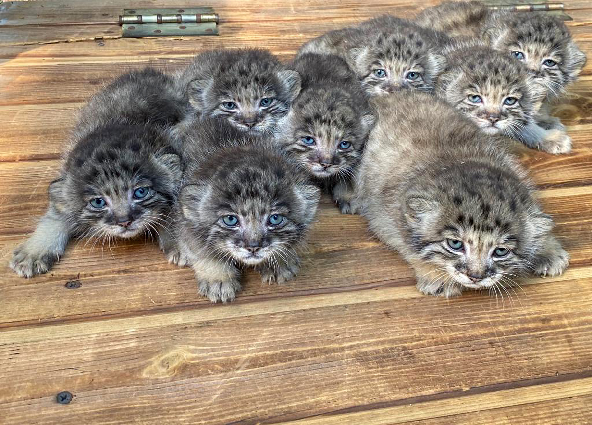 16 adorable wild cats born in Siberian zoo