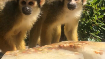 Monkeys eating icy treats in London Zoo. (ZSL London Zoo/Real Press)