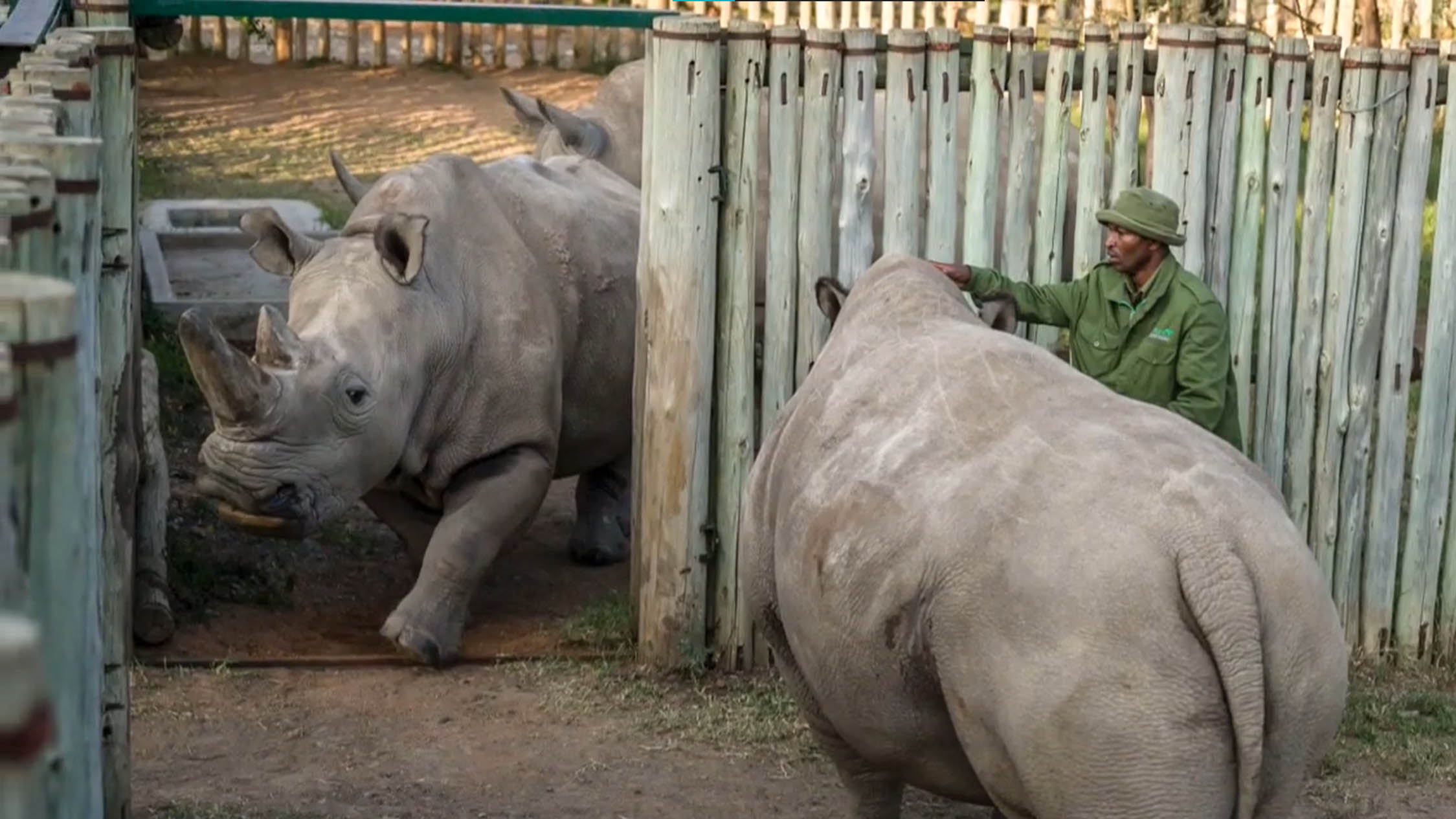 Meet the Last Two Living Northern White Rhinos and the Armed Guards Who Keep Poachers Away