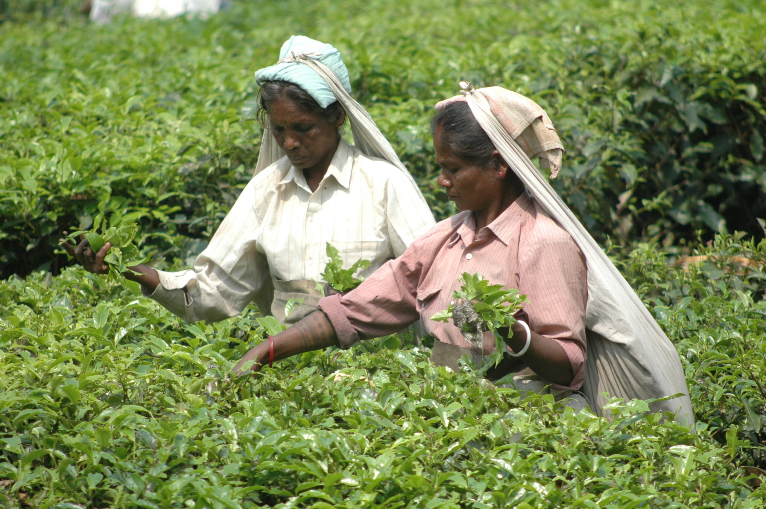 Demand Cools as Connoisseurs Lose Their Taste for India's Darjeeling Tea