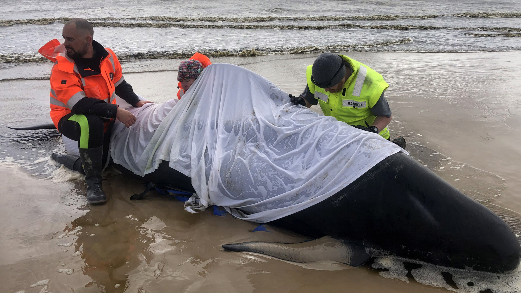 Beached Whales on Tasmanian Shore Baffle Scientists
