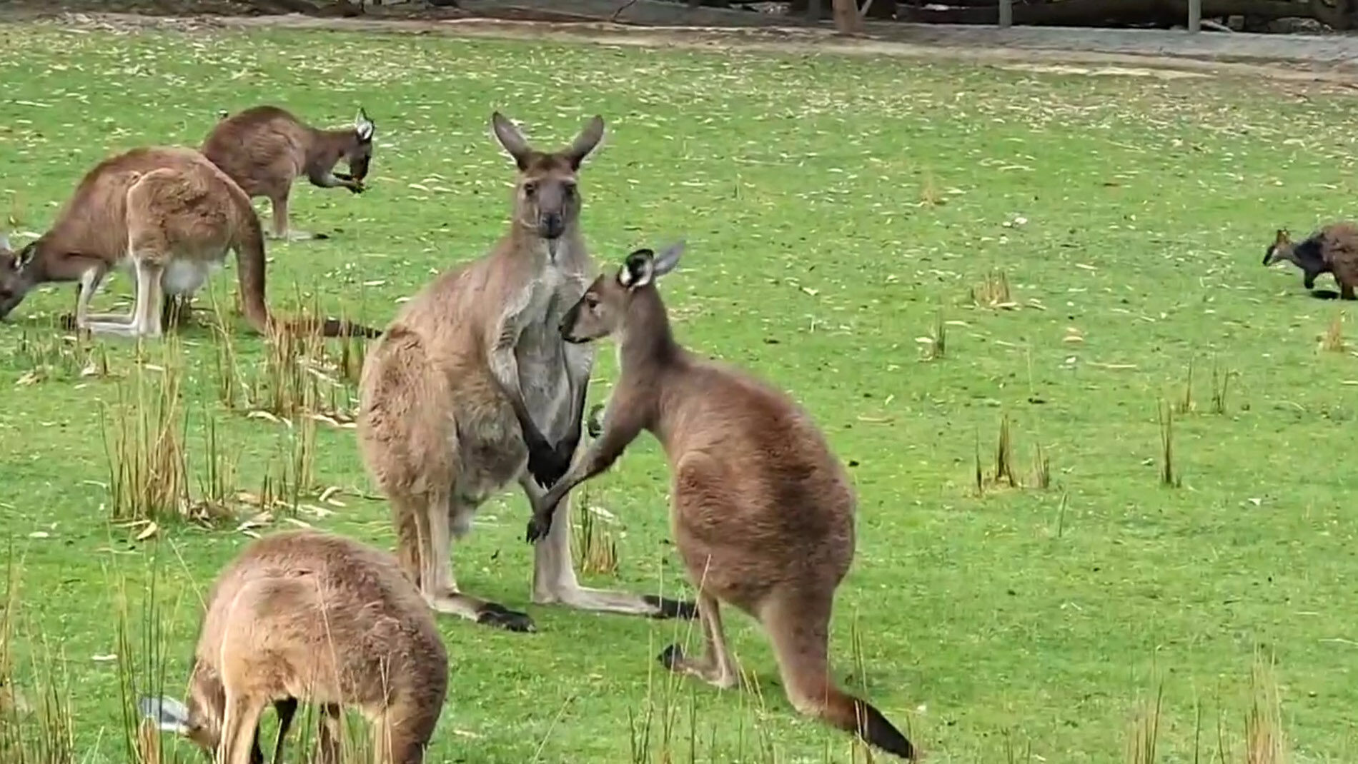 Newsflash-BoxingKangaroos-04