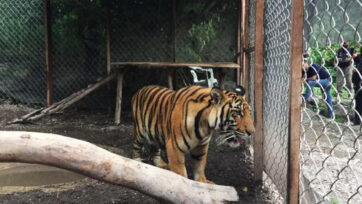 The tiger. Police photo. (Gob Guerrero/Newsflash)