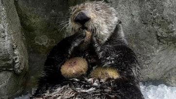 Clipzilla-OtterTreats-01
