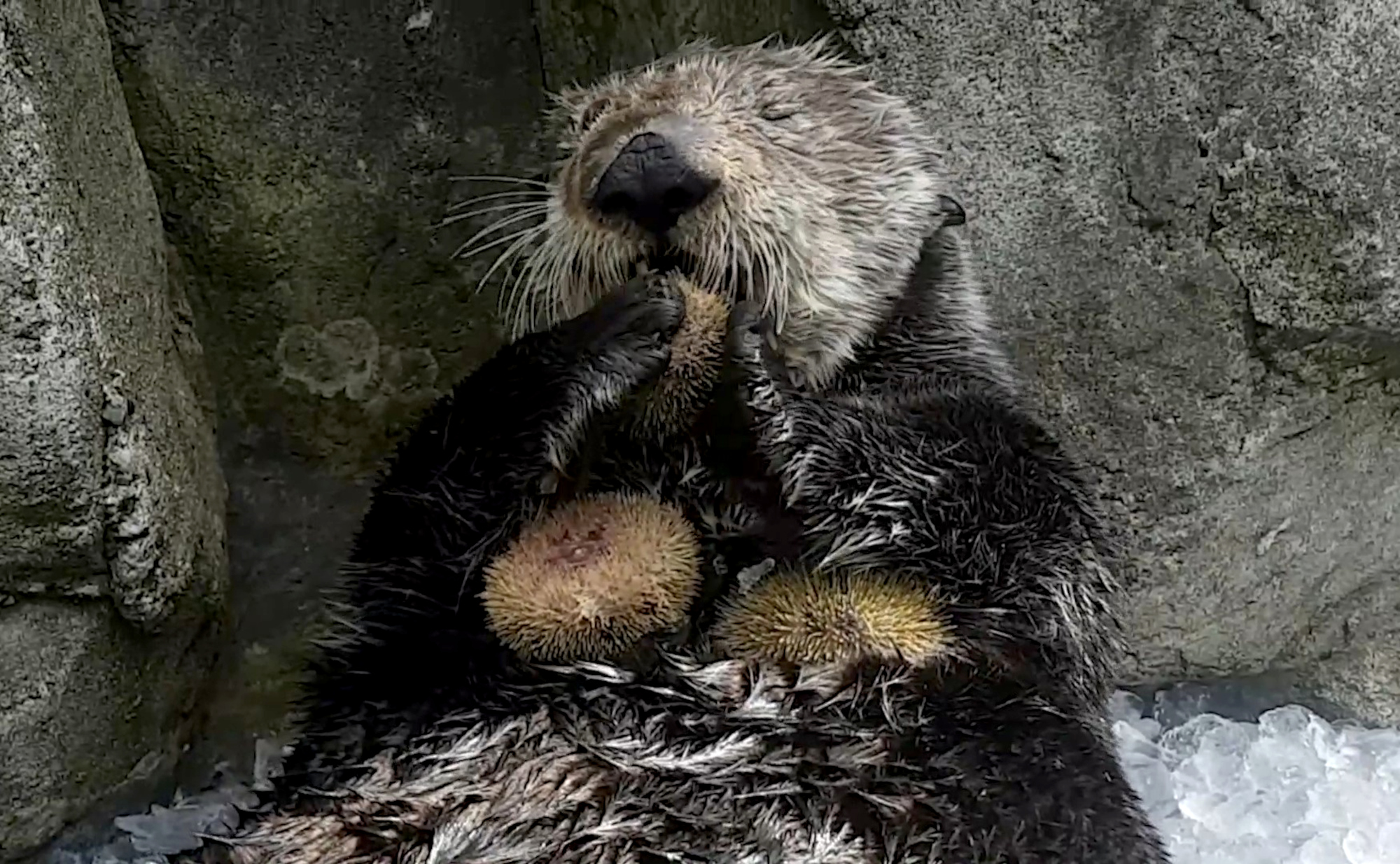 Sea Otter's Power Lunch Is Great For The Ecosystem