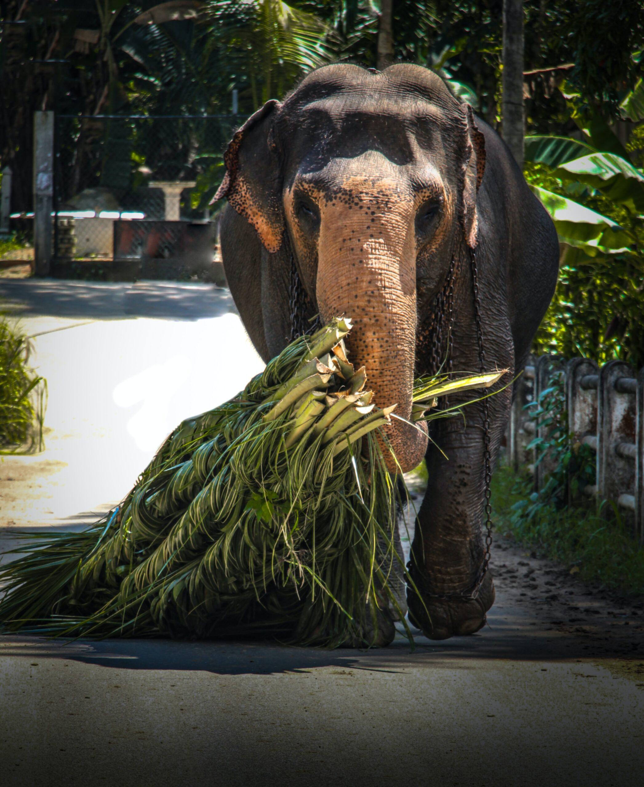 Human-Elephant Conflict Soars in Sri Lanka; Green Activists Blame Habitat Loss