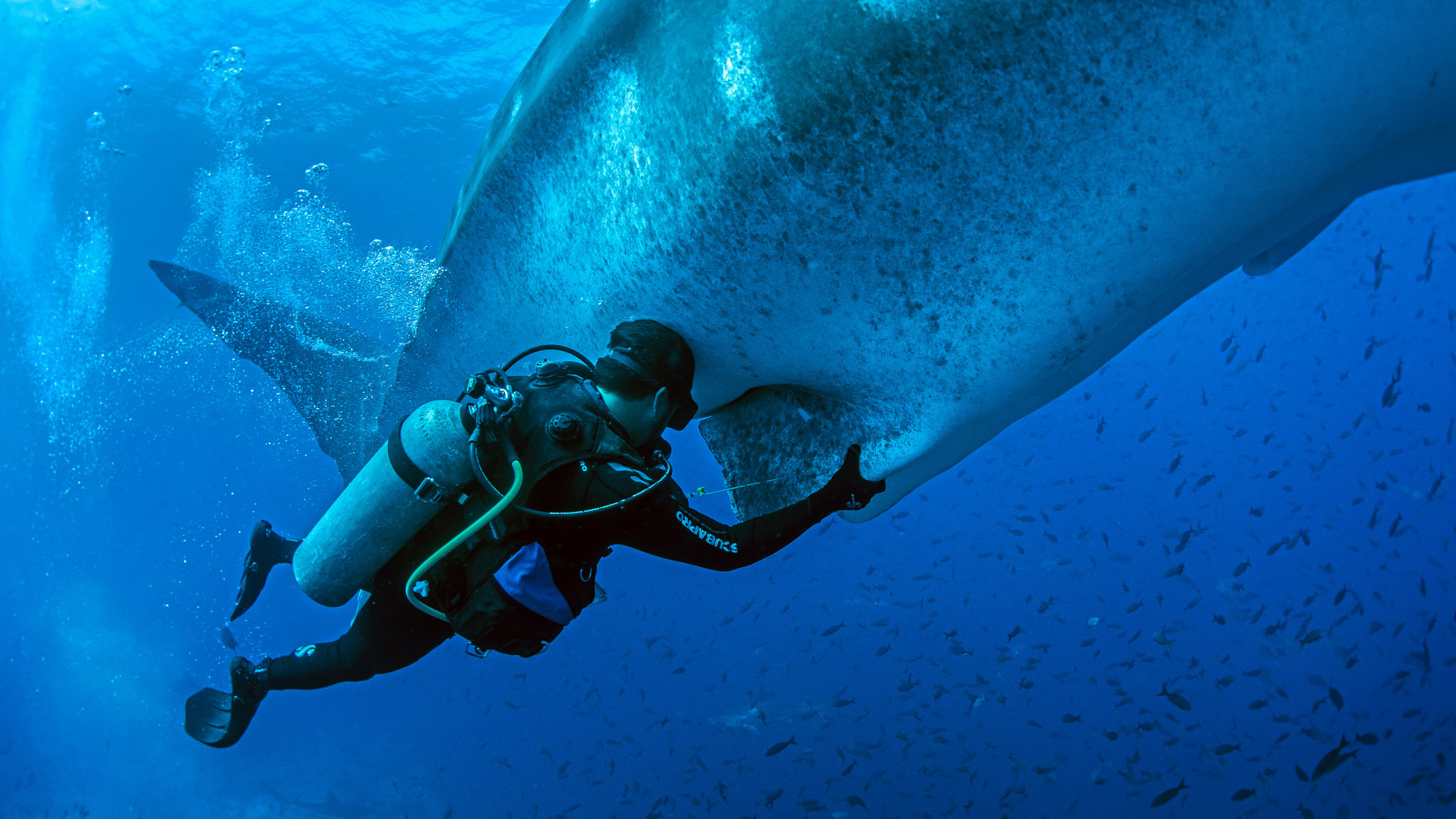 Whale Shark's Nearly 900-Mile Journey Reveals Migratory Route
