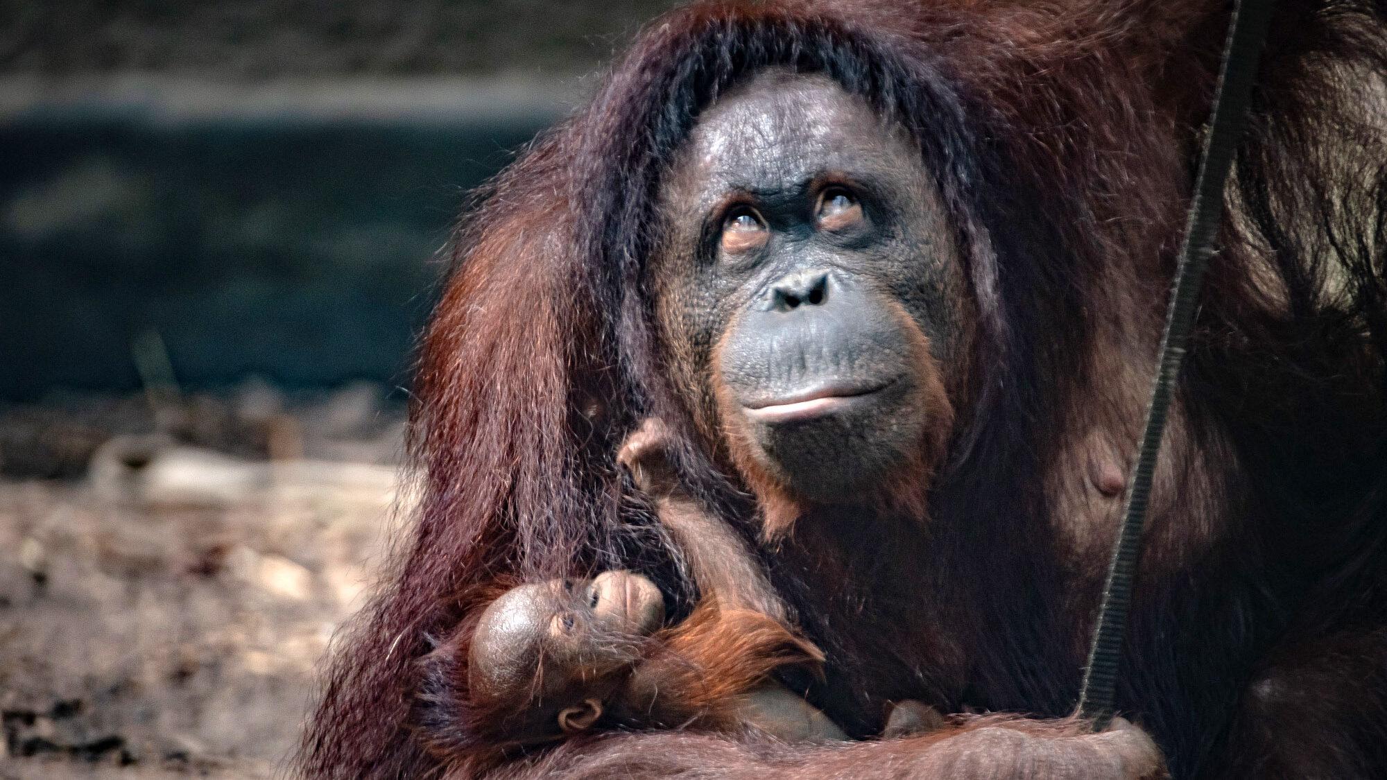 Bornean Baby: Zoo Welcomes 'Surprise' Endangered Orangutan