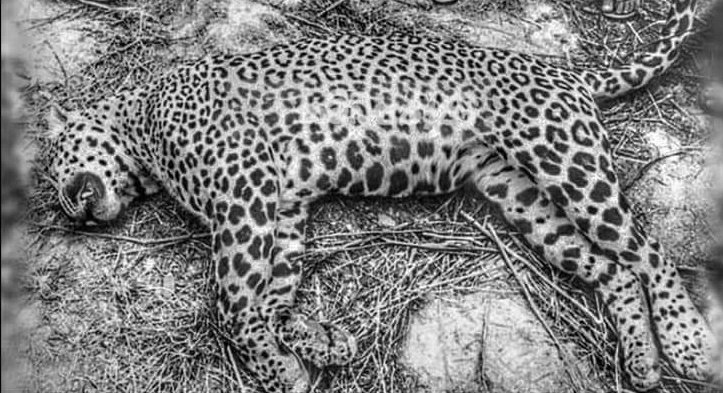 Leopard Killings in Sri Lanka Highlight Smuggling of Feline Body Parts