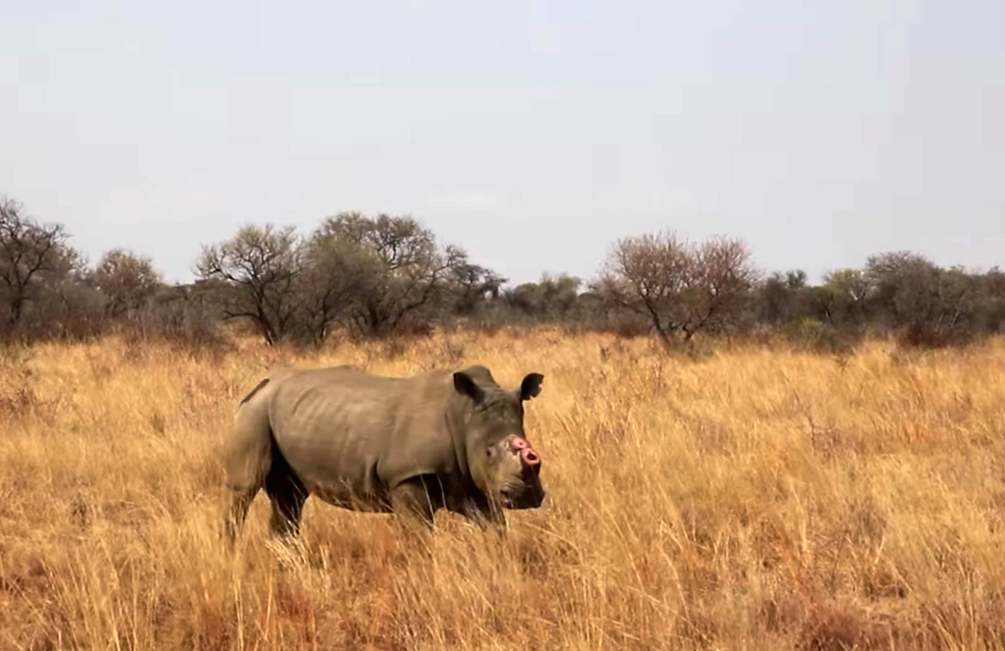 South African Rhinos Dehorned To Deter Poachers