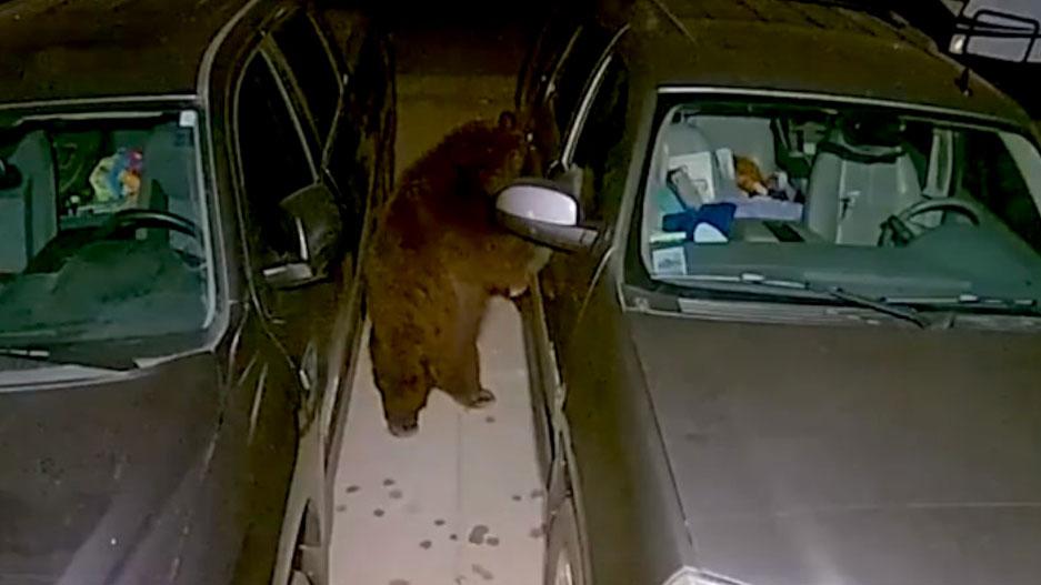 Hungry Bear Ransacks Parked Car for Snacks on Suburban Street