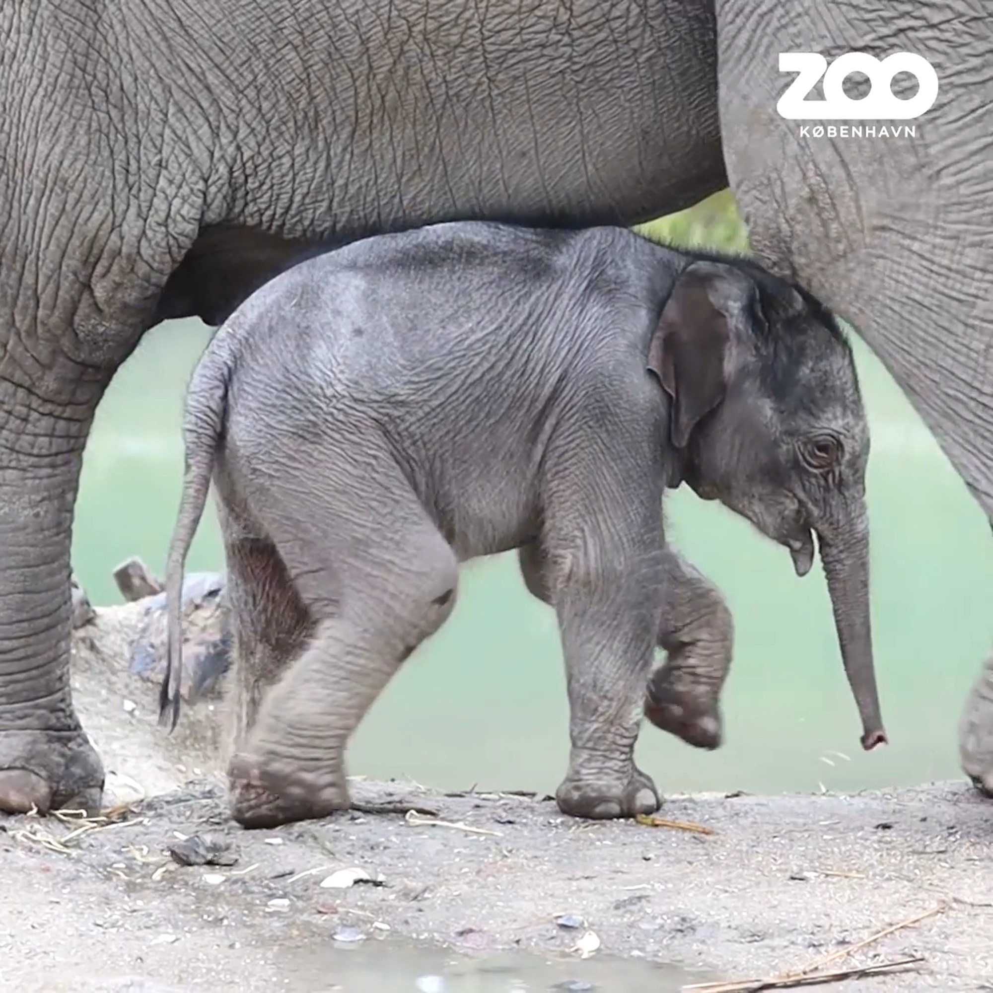 Baby Elephant Calf Makes Public Splash at Danish Zoo