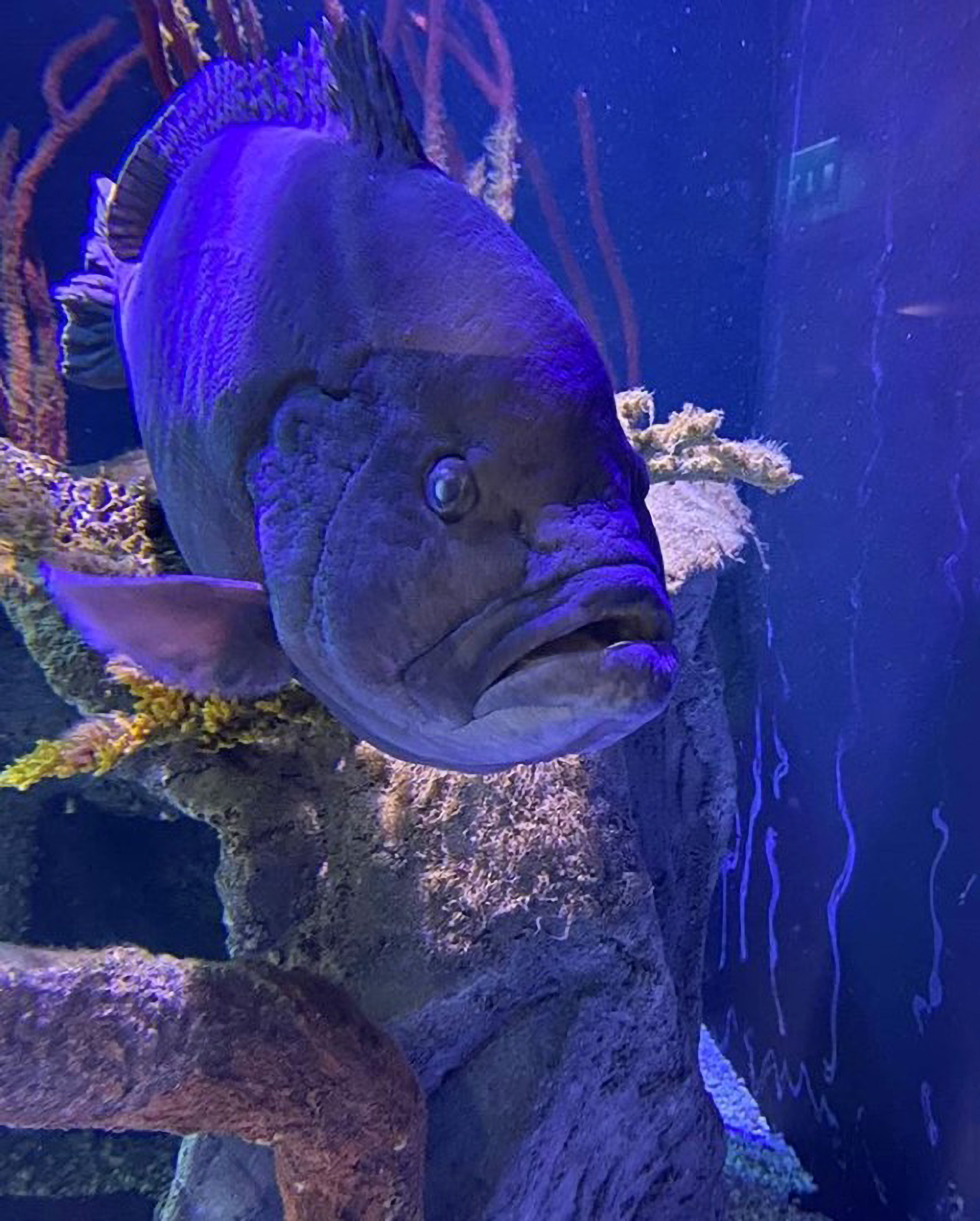 Aquarium's Blue Grouper Beating the Blues