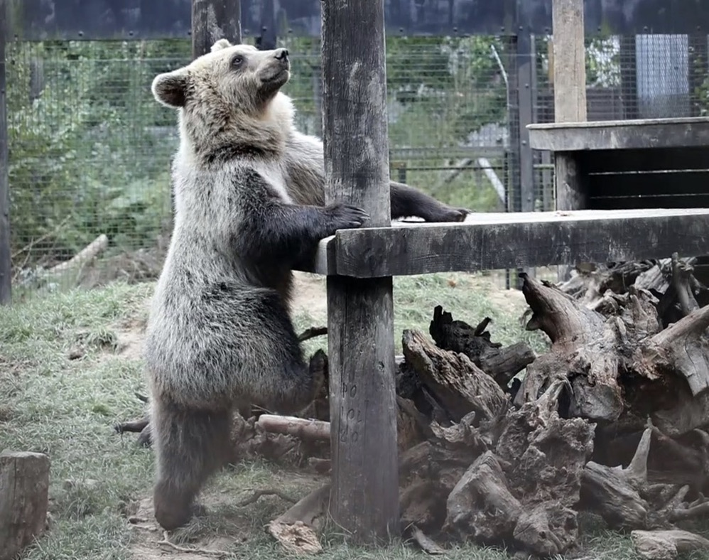 Bear cub climbs on the wood in his cage. (@thewildwoodtrust/Clipzilla)
