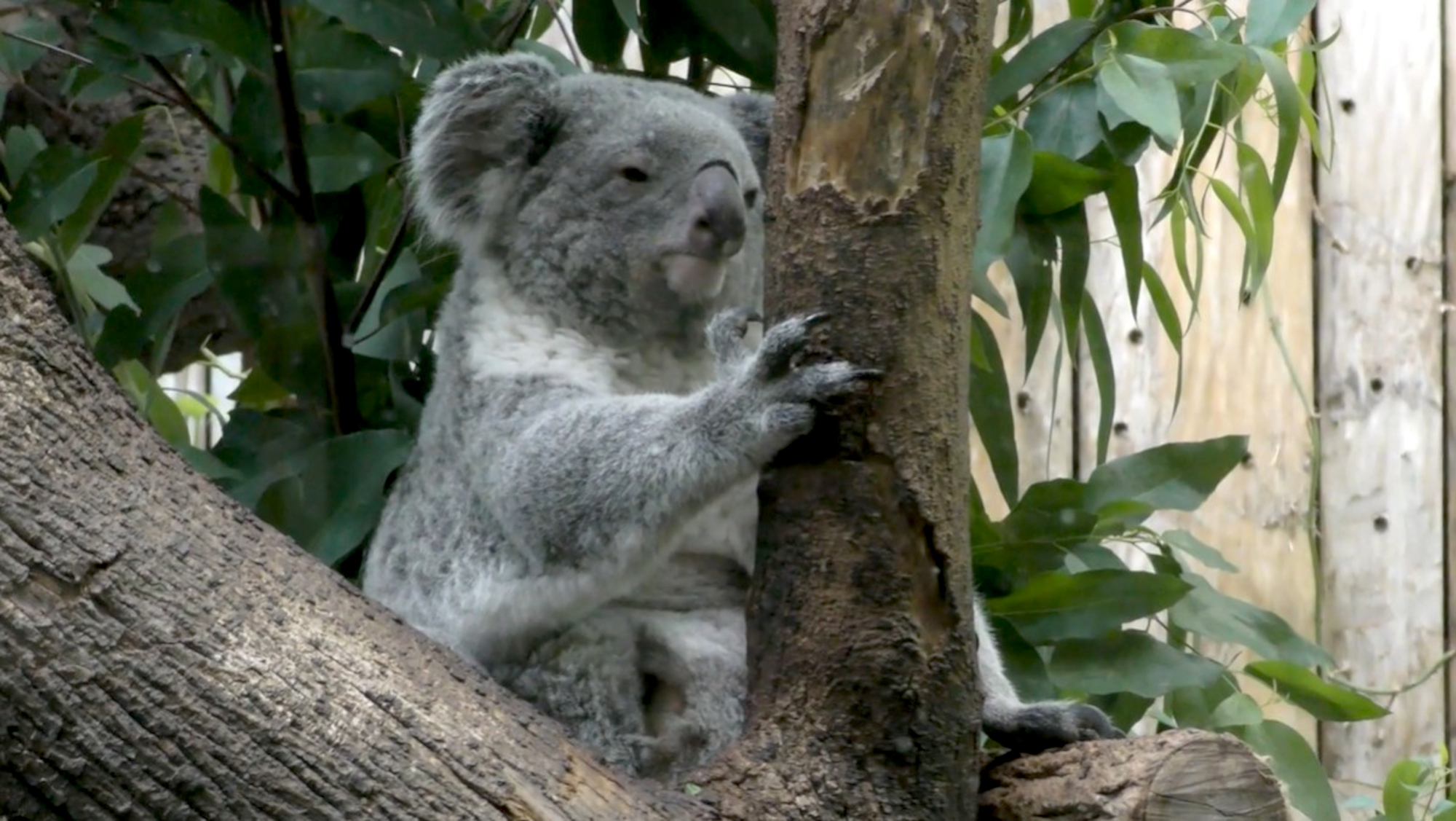 Un-Bear-Ably Cute: Baby Koala Emerges From Mom's Pouch