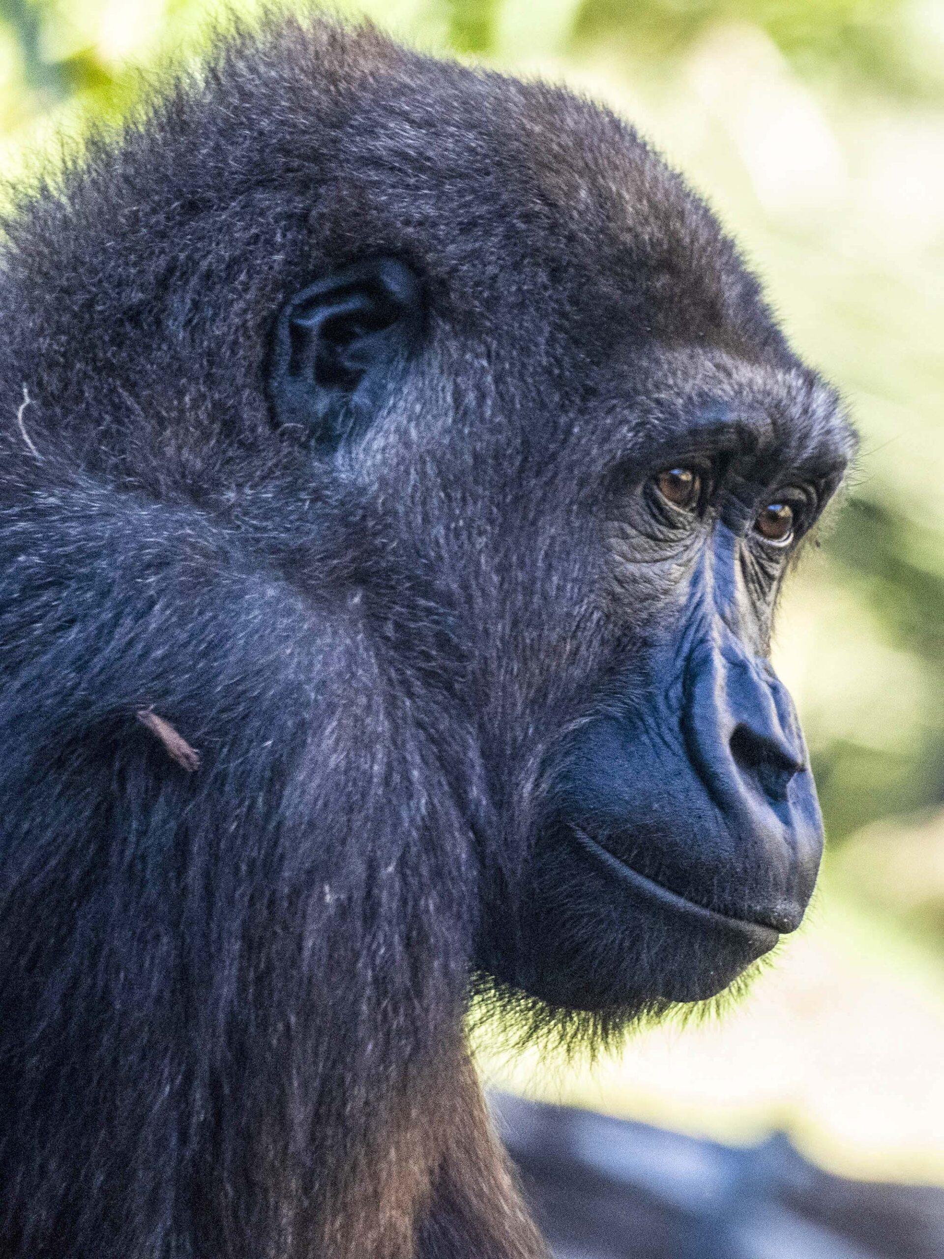 Spain, Cameroon Coordinate Efforts To Save Endangered Gorillas
