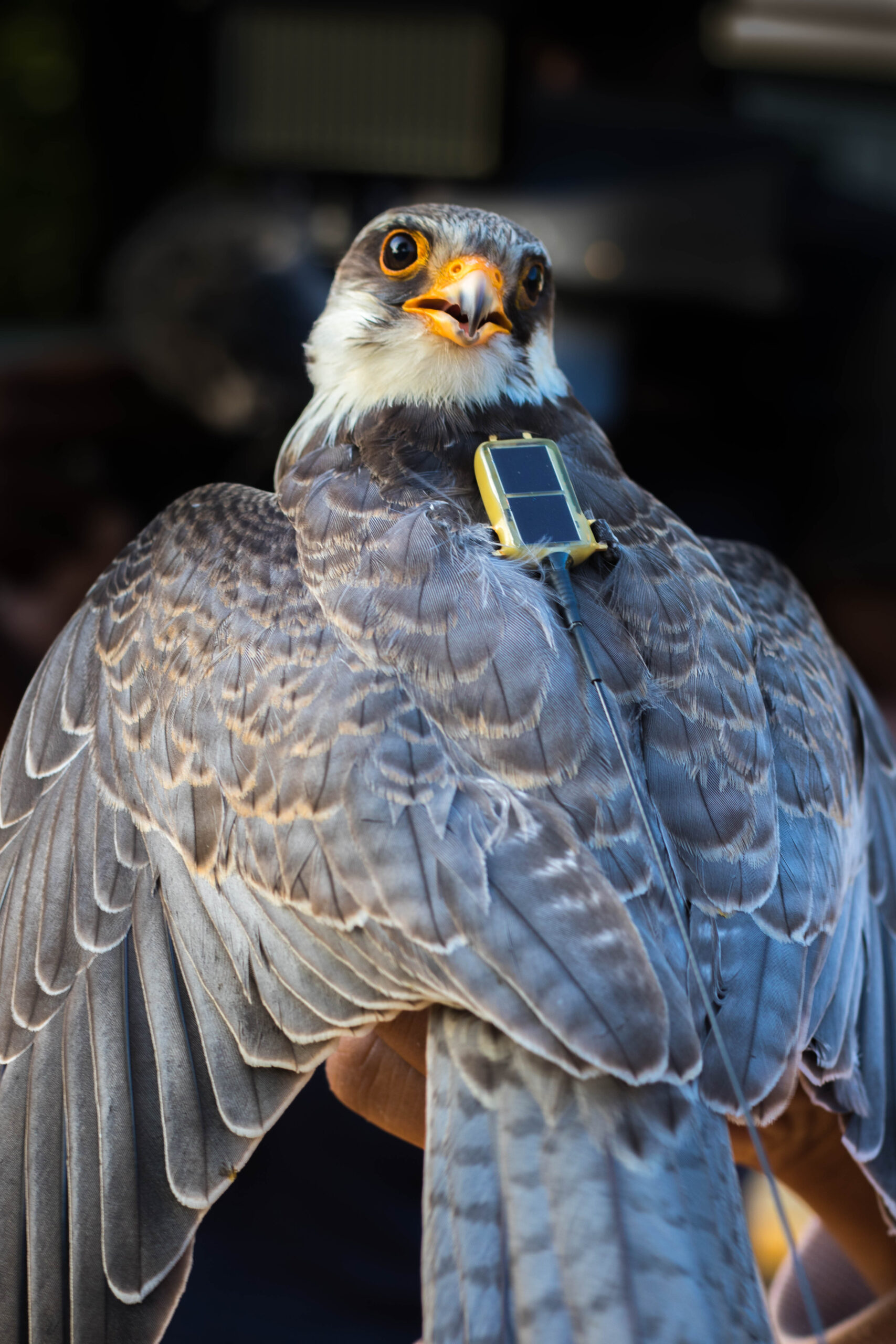 Migratory Amur Falcons Return to Roost in the Naga Hills