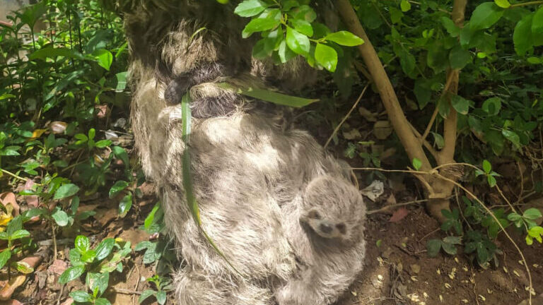 Brazilian Sloths Hang Out in City Square