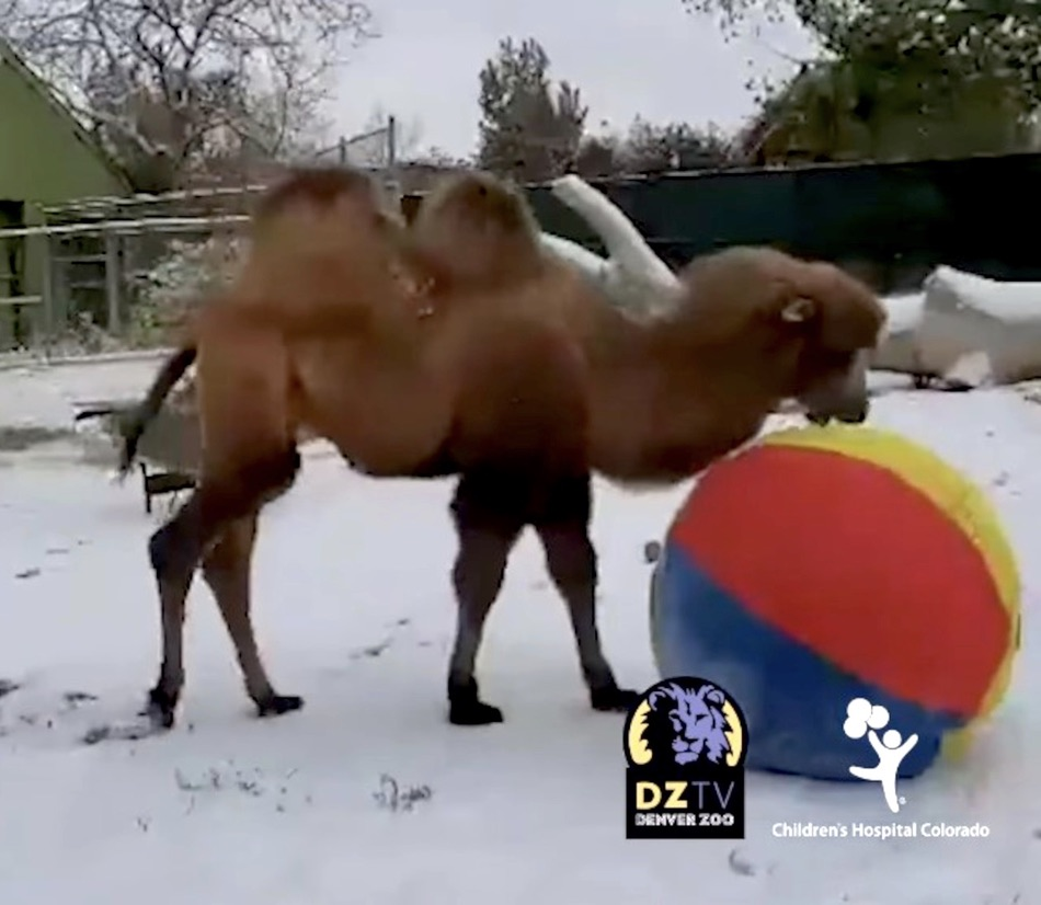 Endangered Camel Calves Get A Kick Out of First Snow