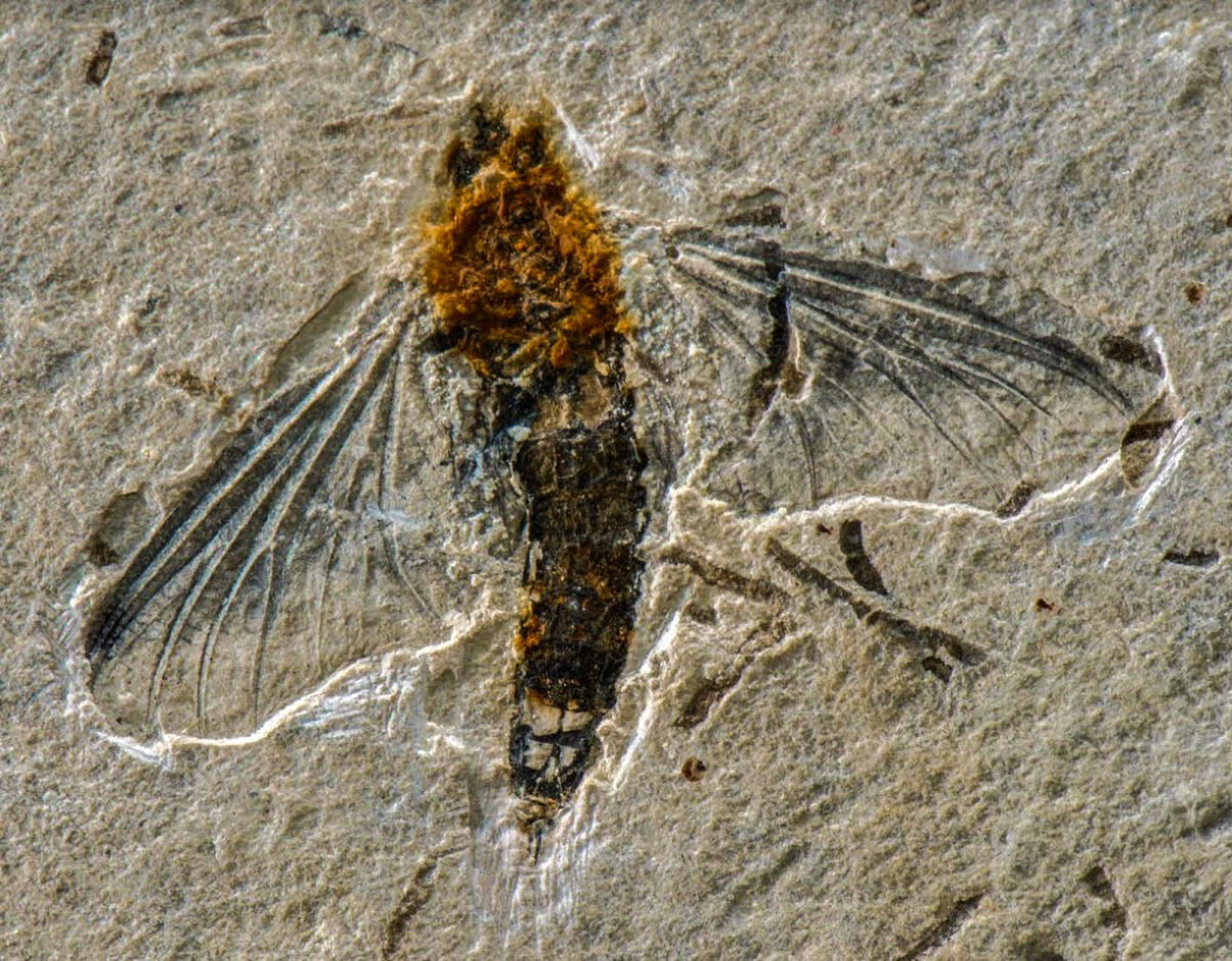 A 125-Million-Year-Old Mayfly Fossil Found In Brazil