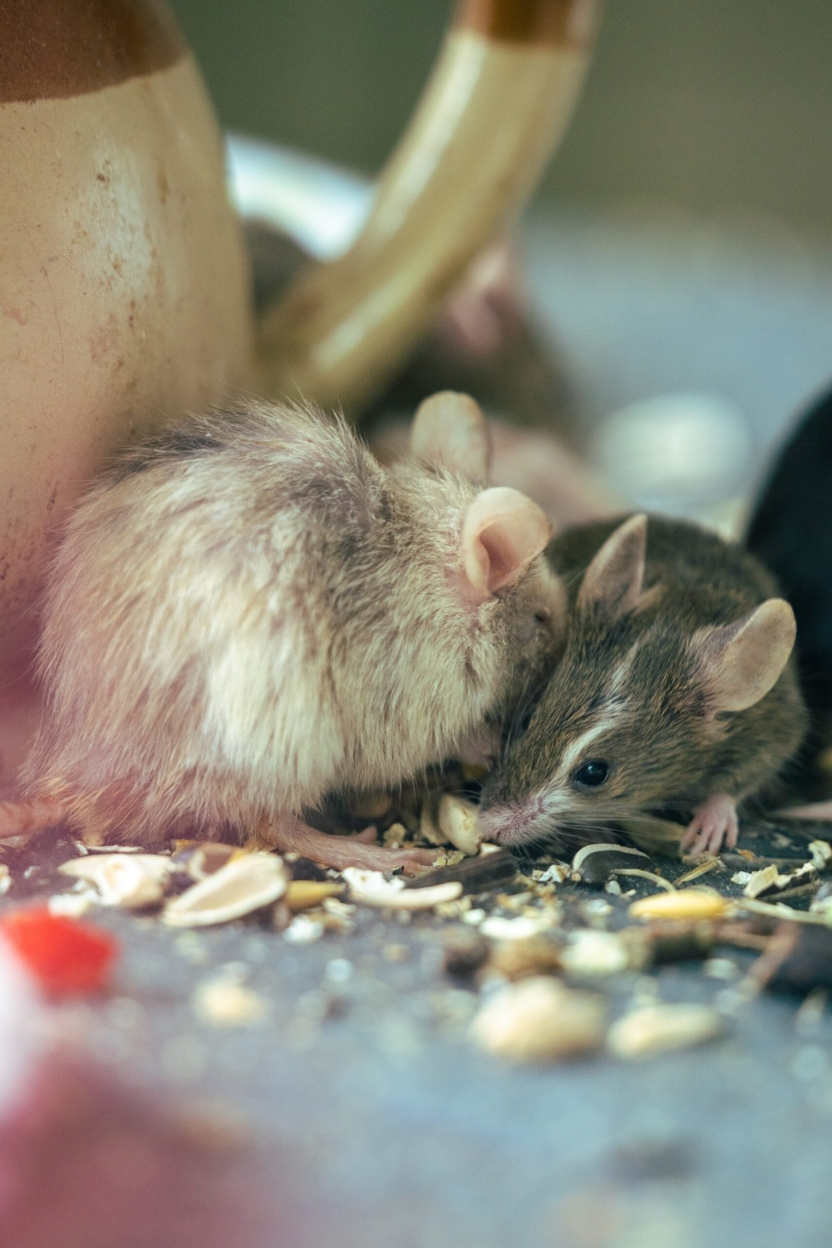 Rat Fever Cases in Sri Lanka Reach 10-Year High