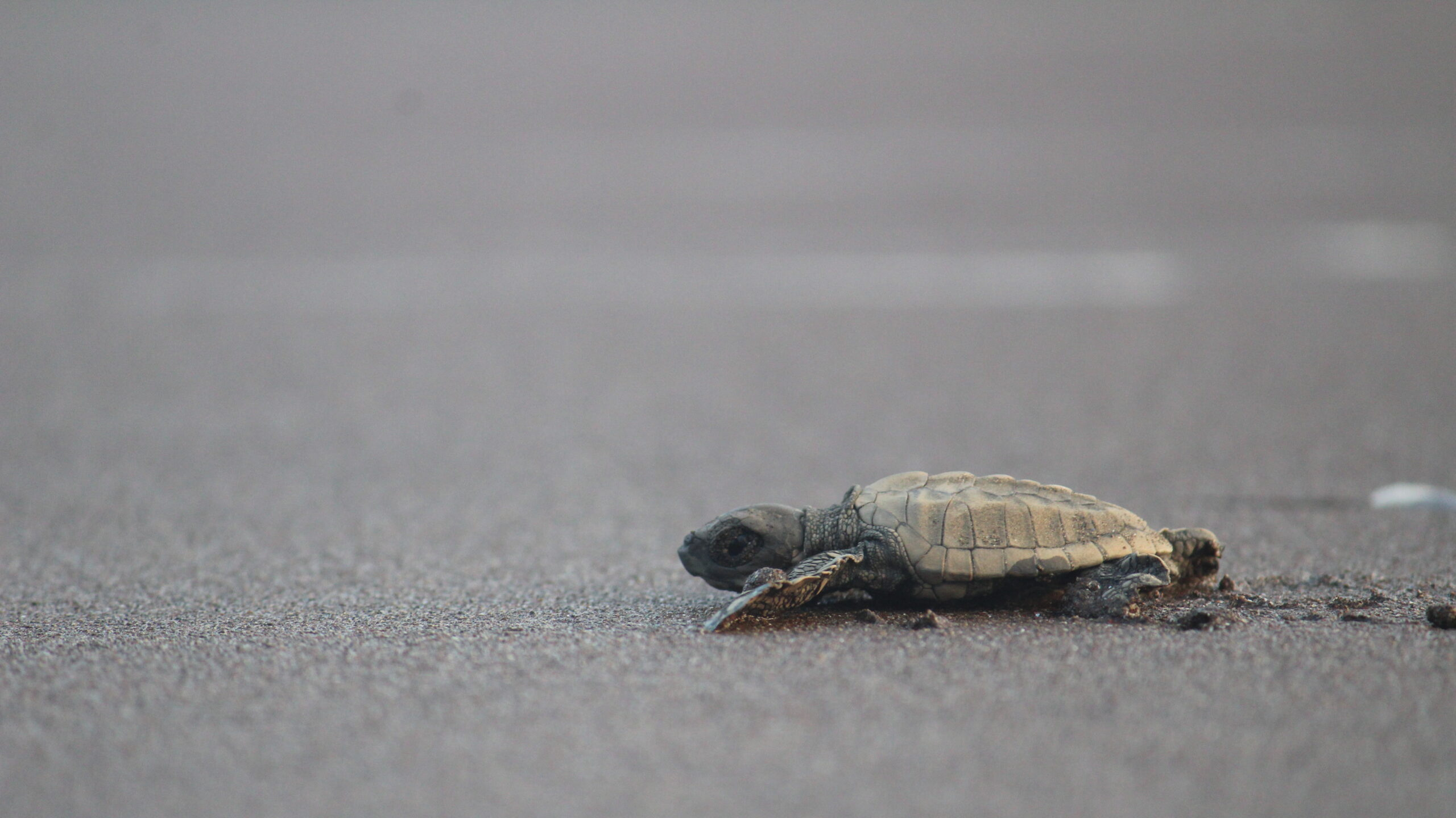 India Pushes For Olive Ridley Turtle Conservation With Satellite Tracking