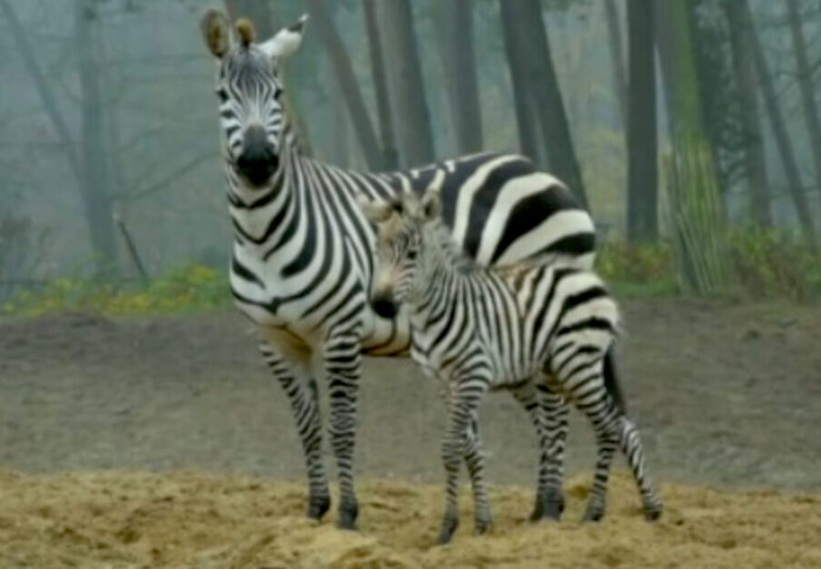 Zebra Foal Debuts at Dutch Safari Zoo