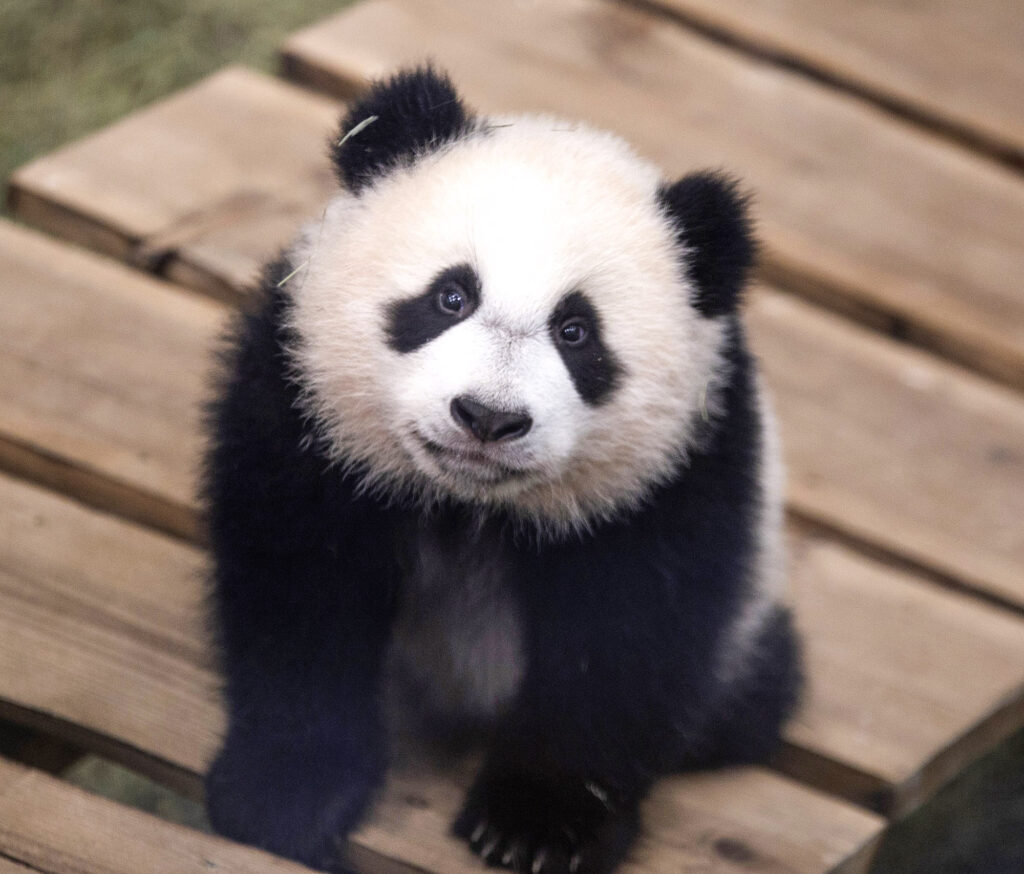 Baby Panda Makes First Appearance at Dutch Zoo
