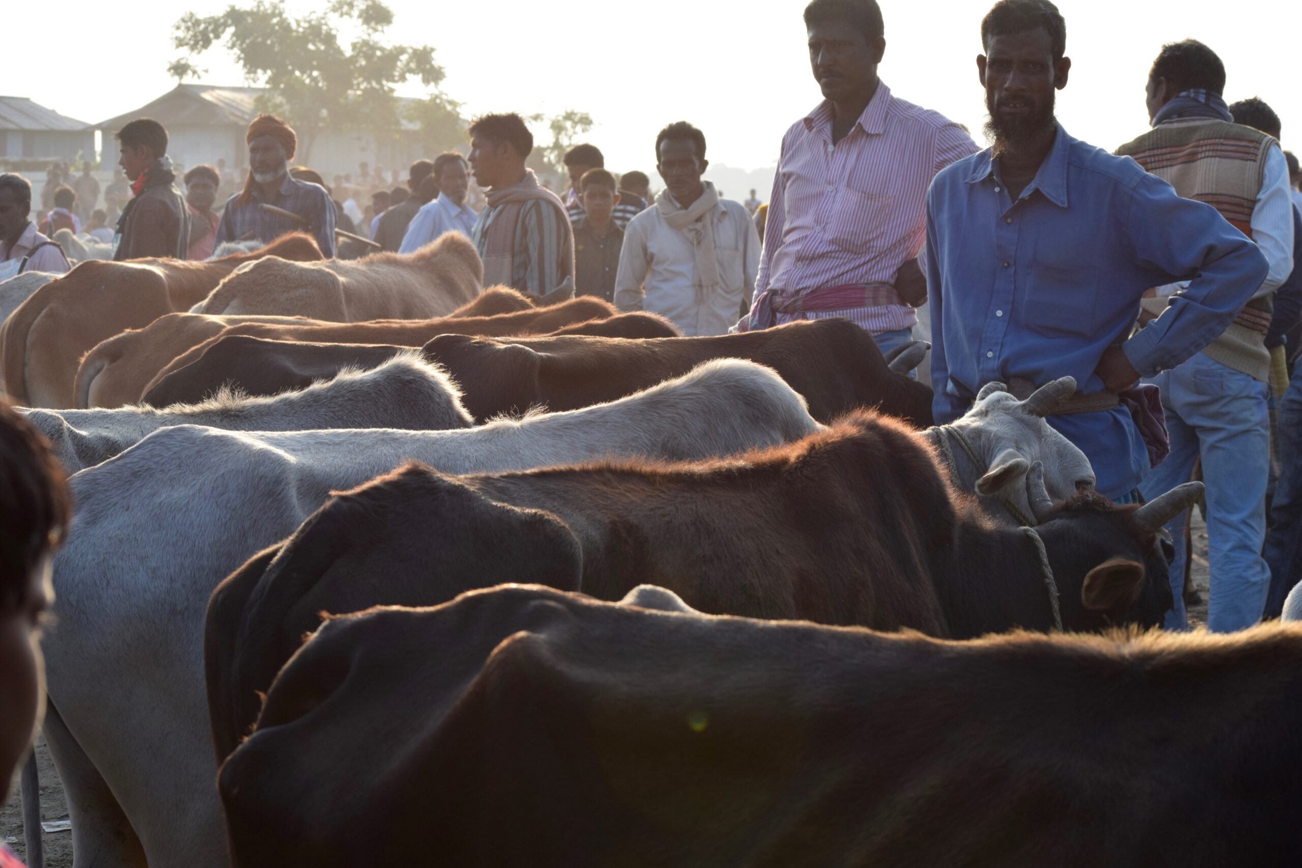 Indian Border Security Official Accused of Role in Cattle-Smuggling Ring