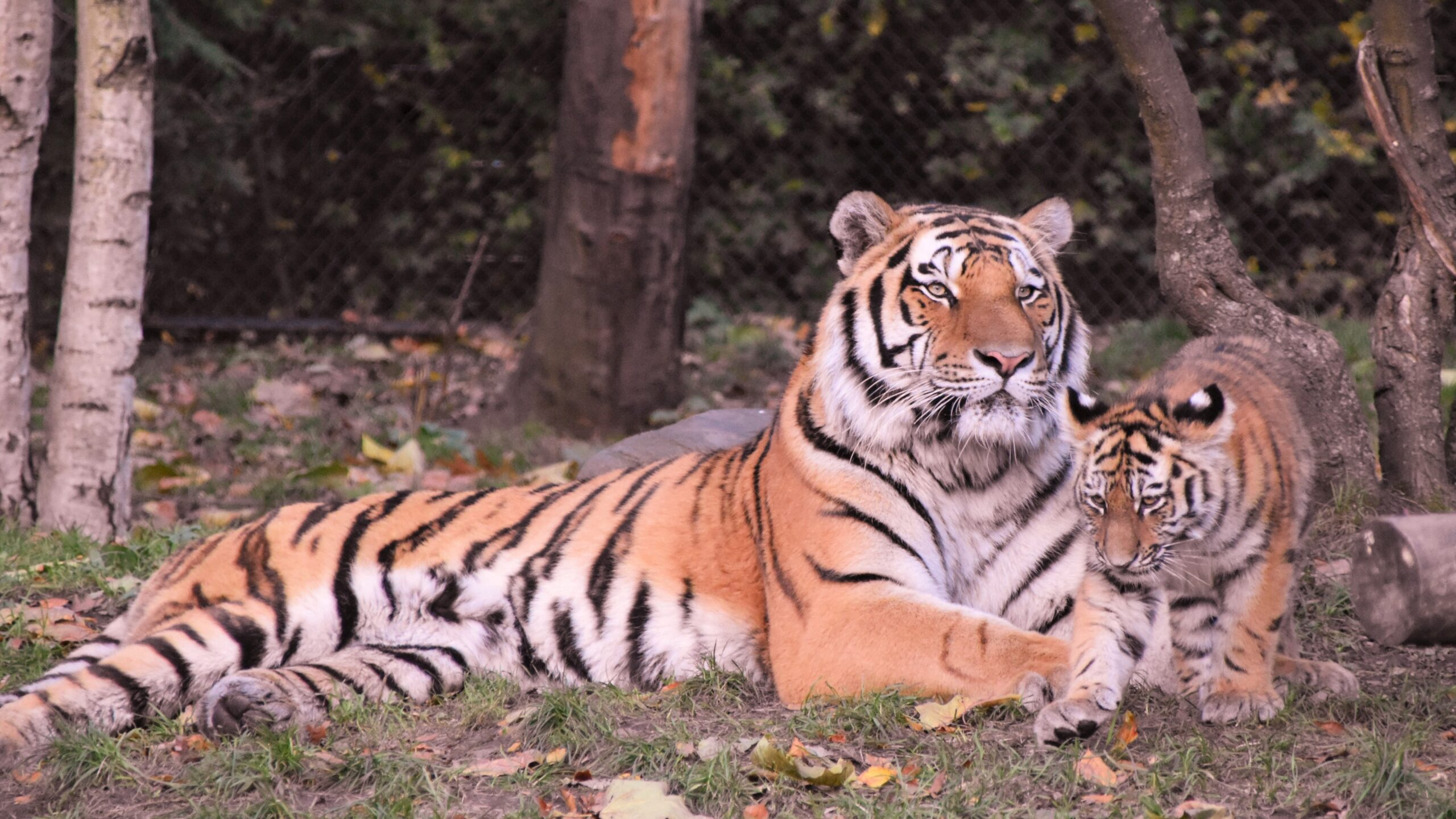 India Sees 30% Drop in Tiger Deaths in 5 Years