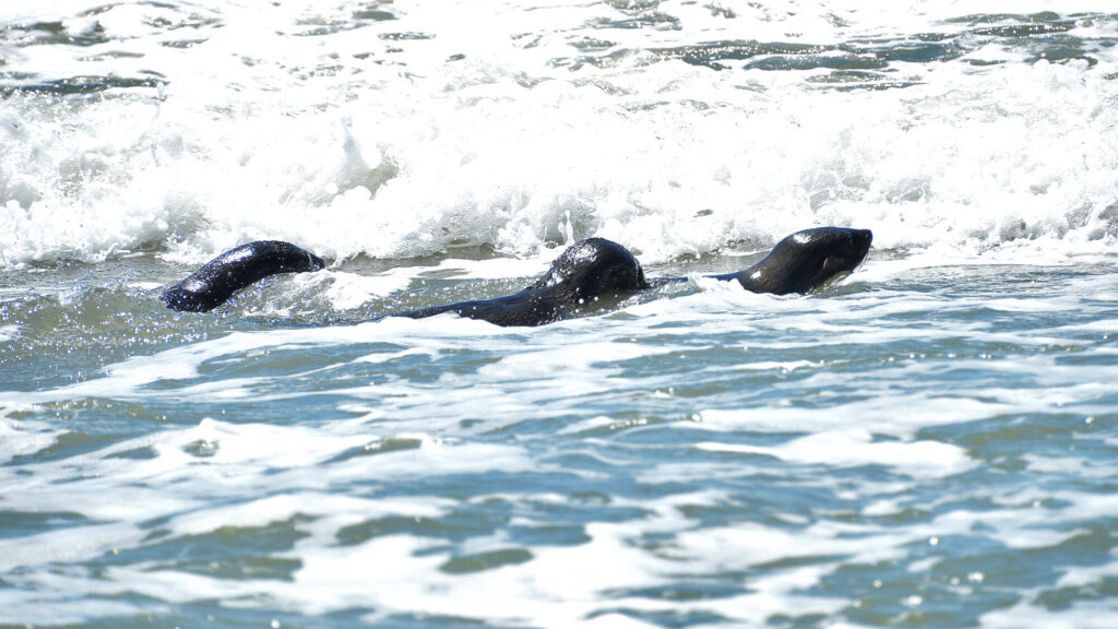 Starving Seal Cubs Back at Sea In Argentina