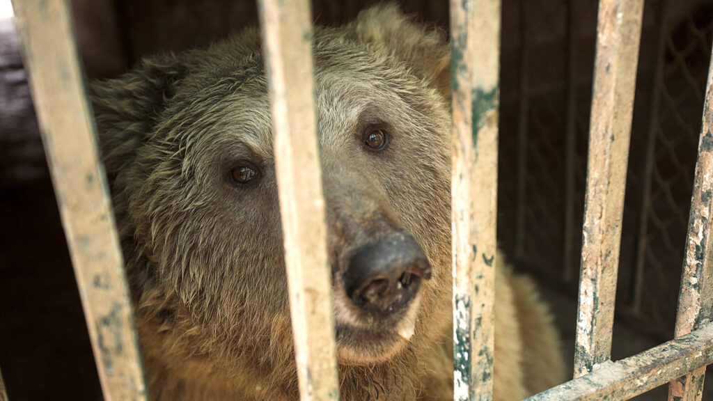 Ex-Dancing Brown Bears Rescued From Run-Down Pakistani Zoo