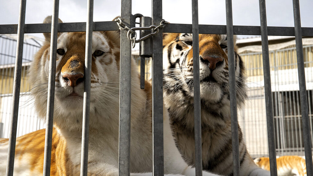 VIDEO: French Authorities Seize 10 Circus Tigers Locked In Cage Truck