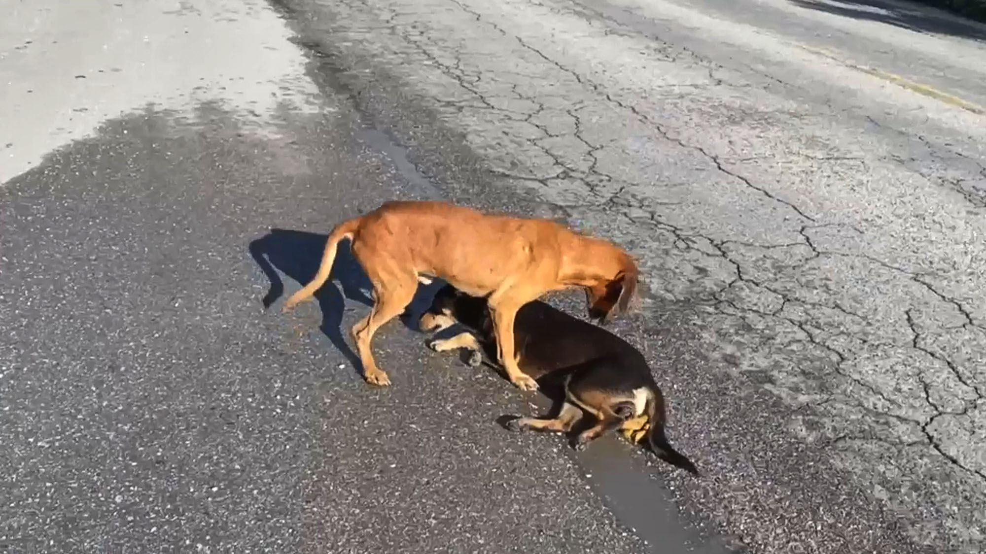 VIDEO: Couple Rescues Pooches Hit While in Traffic