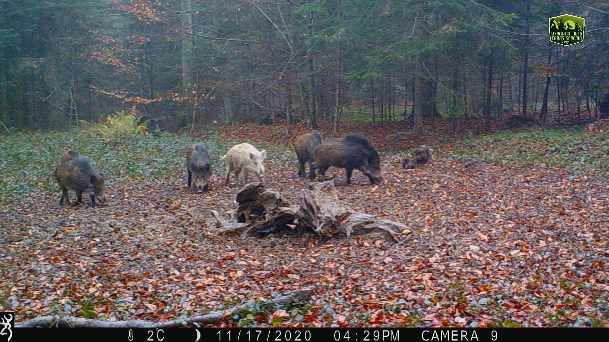 VIDEO: Rare White Boar Seen in Romanian Woods