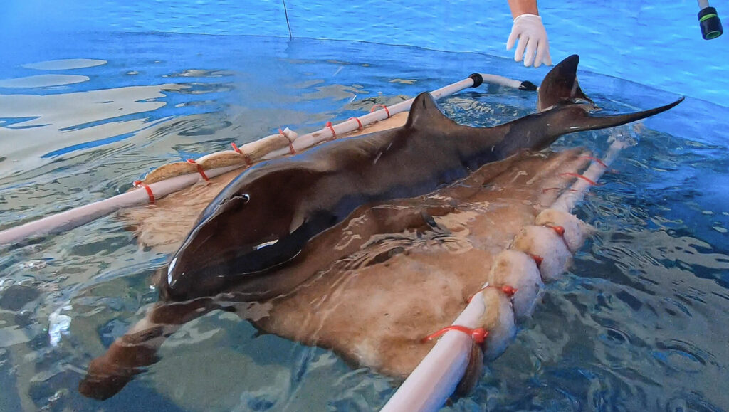 VIDEO: Dolphin Calf Struggles For Survival After Rescued From Argentina Beach