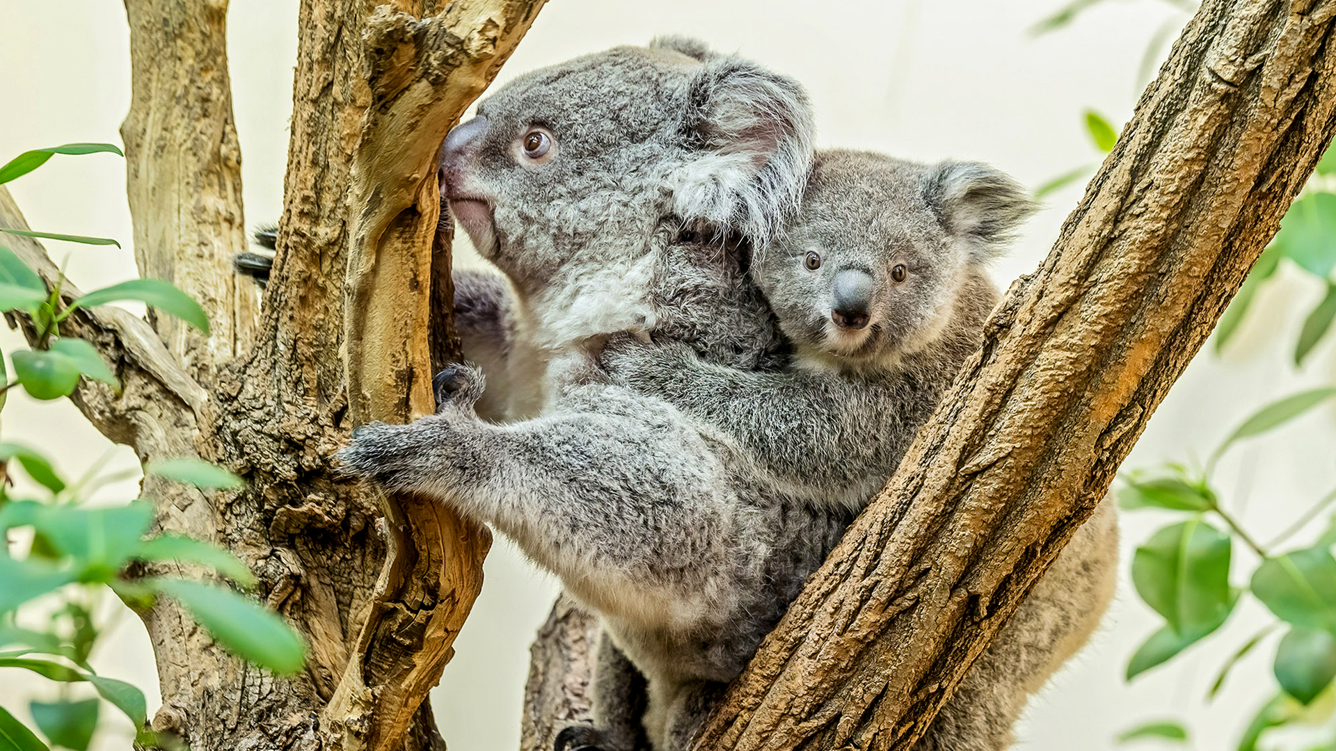 Joey in Vienna Zoo Cuddles Up to Mom in Heartwarming Video