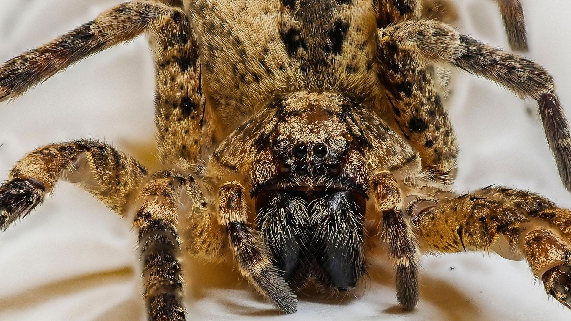 Terrifying Nosferatu Spider Invading Europe