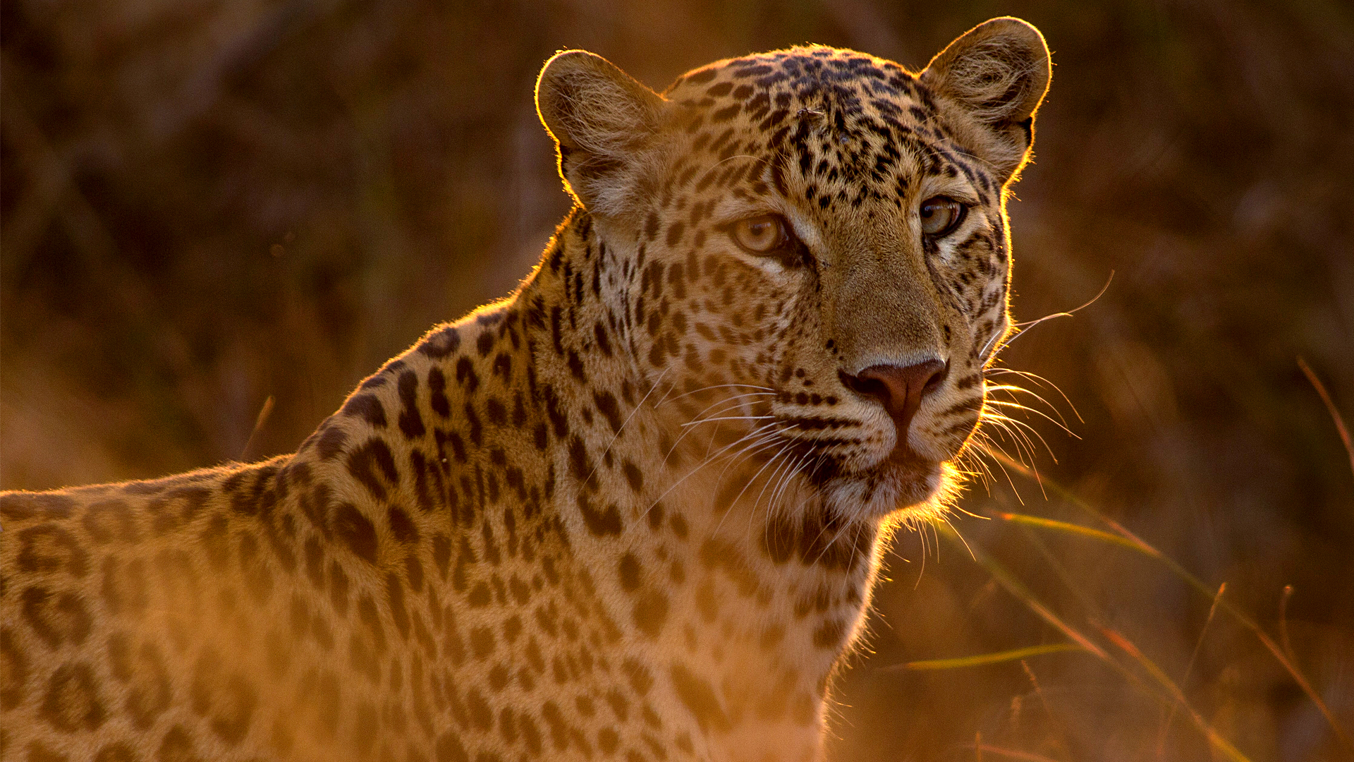 Seeing More Spots: Leopard Population Increases in India