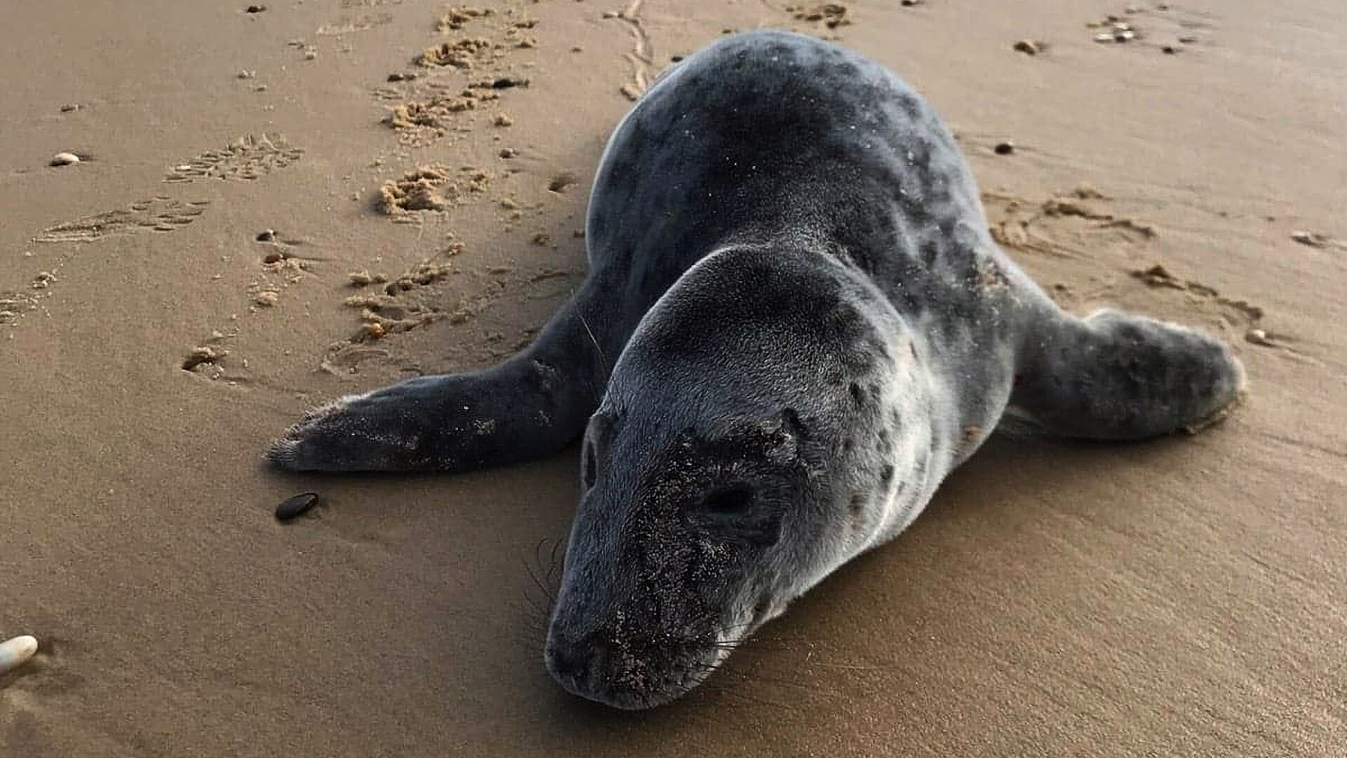 VIDEO: Moment Adorable Three-Month-Old Seal Pup Is Rescued After Being Bitten By Dog