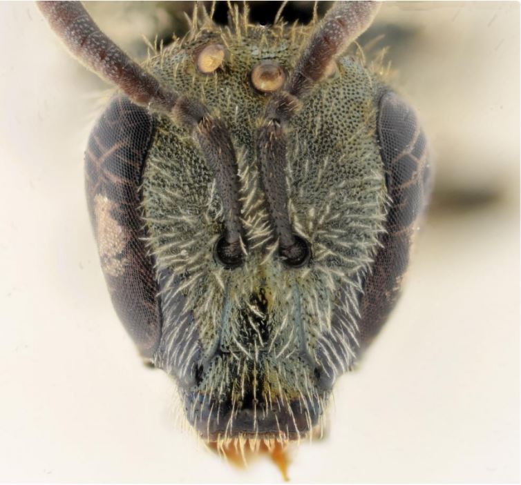 Buzzworthy: New Bee Species Discovered In Israel