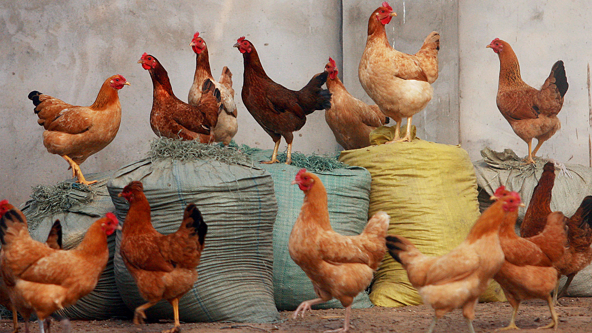 Six States in India Report Outbreak of Avian Flu