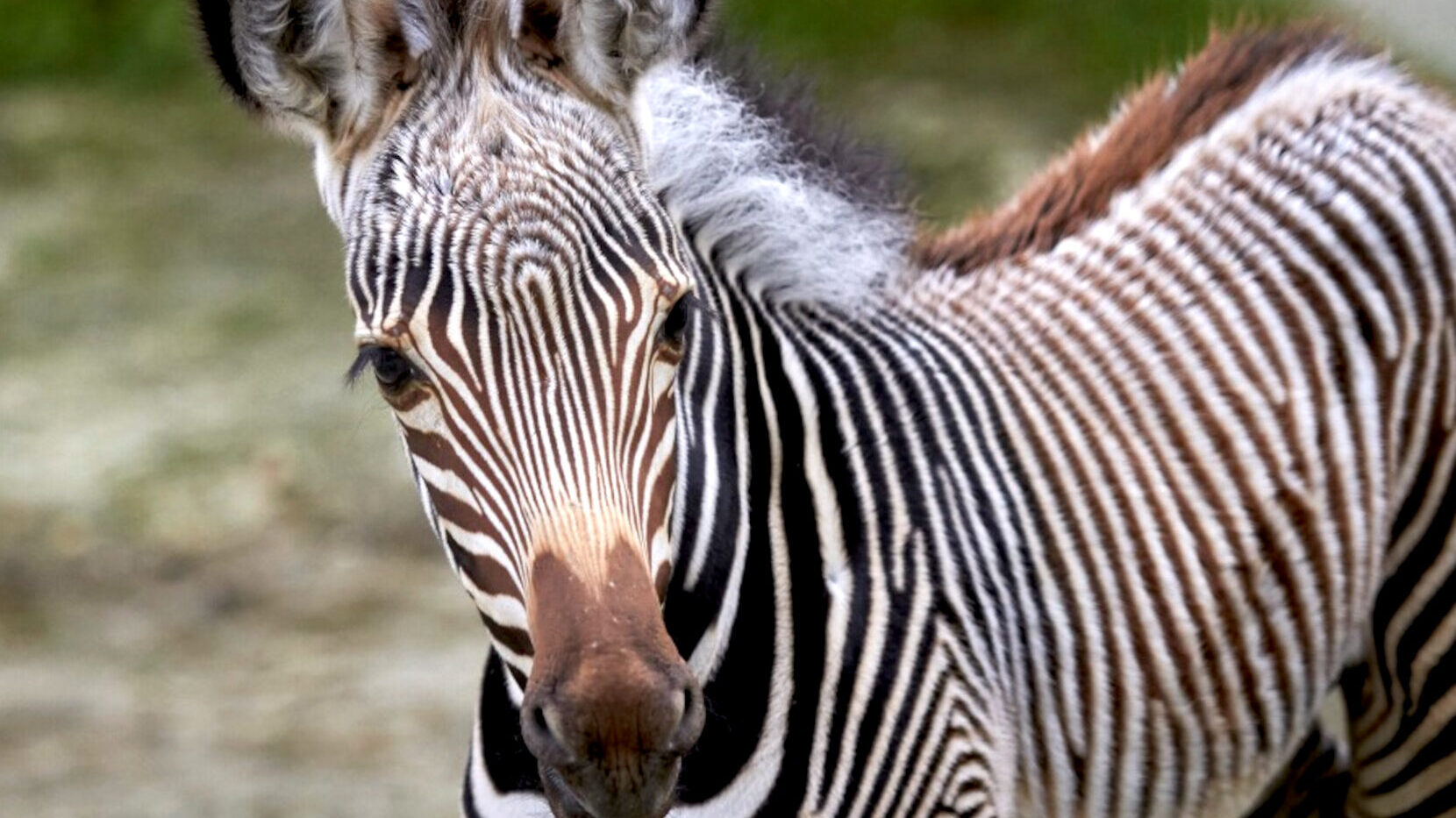 VIDEO: Precious Trot: Endangered Zebra Born in Zoo